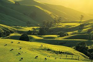 Ewes and Lambs Grazing at Trida, Strzelecki Ranges, South Gippsland, Victoria, Australia by Peter Walton Photography