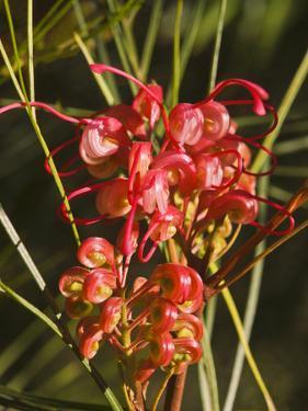 Grevillea Longistyla, Queensland by Peter Walton Photography