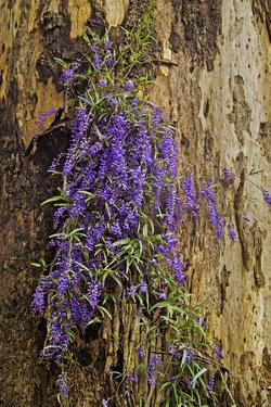 Hardenbergia Violacea, Western Australia by Peter Walton Photography