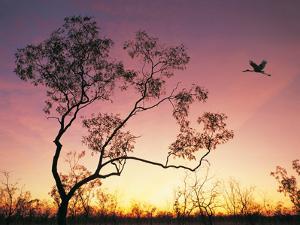 Jabiru Flying at Sunset at Mataranka, Northern Territory, Australia by Peter Walton Photography