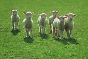 Lambs, near Werribee, Victoria, Australia by Peter Walton Photography