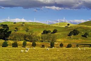 Merino Sheep Grazing near Windfarm at Blayney, New South Wales, Australia by Peter Walton Photography