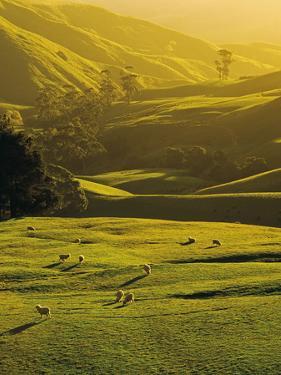 Sheep Grazing at Trida, Strzelecki Ranges, South Gippsland, Victoria, Australia by Peter Walton Photography