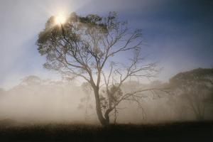 Sun Rays through Alpine Eucalypt in the Alpine National Park, Victoria, Australia by Peter Walton Photography