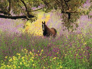 Thoroughbred Horse among Wildflowers in the Chittering Valley, Western Australia by Peter Walton Photography