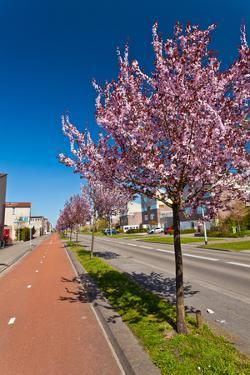 Row of Blossom Trees in Bloom by Peter Wollinga