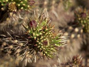 Arizona. Cactus. Close-Up of a Blooming Cactus by Petr Bednarik