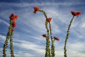 Arizona. Ocotillo Blooming Against Blue Sky by Petr Bednarik
