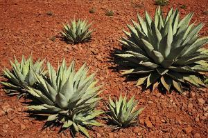 Arizona, Wilson Canyon. Agave Growing Out of a Red Rock Carpet by Petr Bednarik