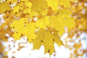 Maple Leaves Dressed in Yellow by Petr Bednarik