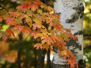 Michigan, Bewabic Sp. Maple Tree in Fall Foliage and White Birch by Petr Bednarik