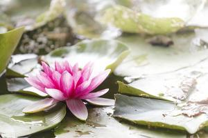 A Pink Water Lily Blossom by Petra Daisenberger