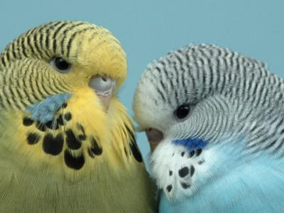 Budgerigar Pair Courting by Petra Wegner
