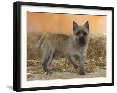 Cairn Terrier Standing with One Paw Raised by Petra Wegner