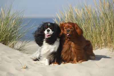 Cavalier King Charles Spaniels With Tricolor And Ruby Colourations On Beach, Texel, Netherlands by Petra Wegner