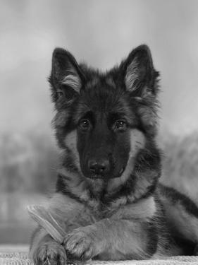 Domestic Dog, German Shepherd Alsatian Juvenile. 5 Months Old, with Rawhide Bone by Petra Wegner