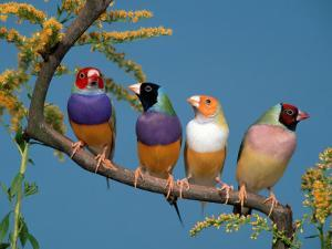Four Gouldian Finches by Petra Wegner