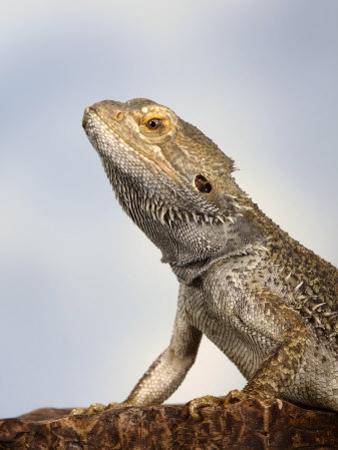 Inland Bearded Dragon Profile, Originally from Australia