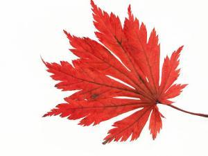Japanese Maple Leaf in Autumn Colours by Petra Wegner