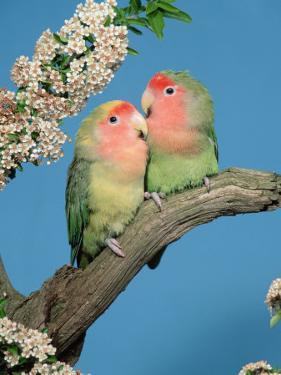 Pair of Peach-Faced Lovebirds by Petra Wegner