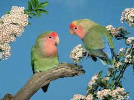 Affordable Lovebirds Posters for sale at AllPosters com