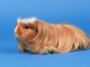Satin Gold American Crested Coronet Guinea Pig by Petra Wegner