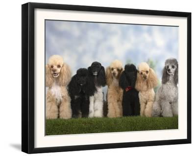 Seven Miniature Poodles of Different Coat Colours to Show Coat Colour Variation Within the Breed by Petra Wegner