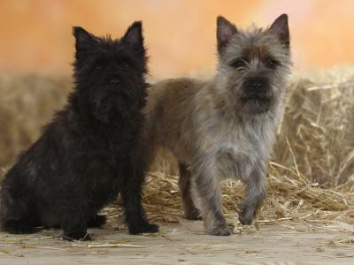 Two Cairn Terriers of Different Coat Colours by Petra Wegner