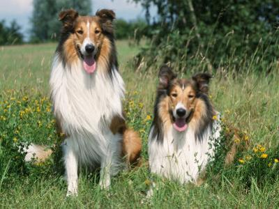 Two Collie Dogs by Petra Wegner