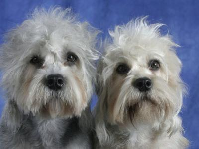 Two Dandie Dinmont Terrier Dogs by Petra Wegner