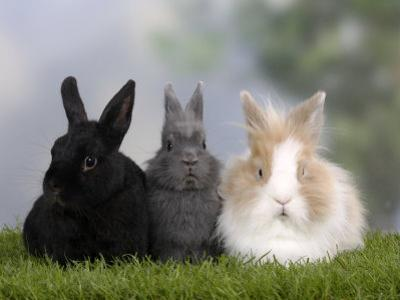 Two Dwarf Rabbits and a Lion-Maned Dwarf Rabbit by Petra Wegner