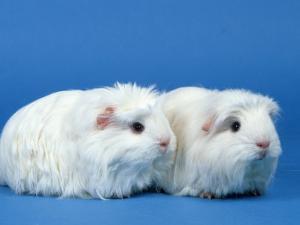Two White Coronet Guinea Pigs by Petra Wegner