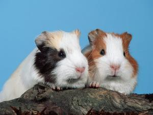 Two Young Guinea Pigs by Petra Wegner