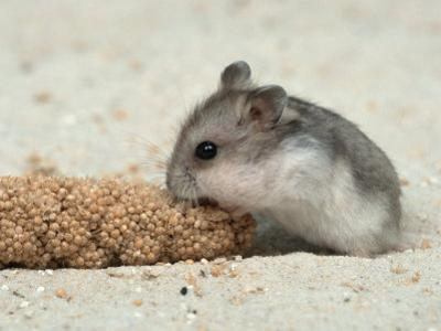 Young Dwarf Hamster Eating Millet by Petra Wegner