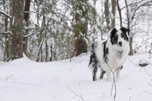A Black and White Australian Shepherd Dog Stands in Newly Fallen Snow Near the Edge of a Thicket by Petteway White