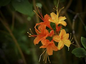 Close Up of a Wild Flame Azalea in Bloom by Petteway White