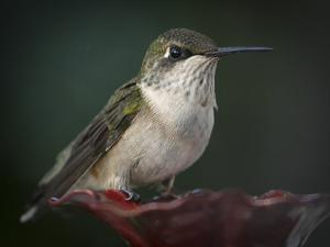 Close Up Portrait of a Female Ruby Throated Hummingbird Resting on a Feeder by Petteway White