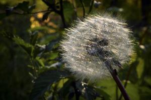 Dandelion Seeds Ready to Be Dispersed by Petteway White