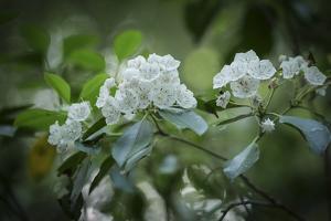 Mountain Laurel in Bloom by Petteway White