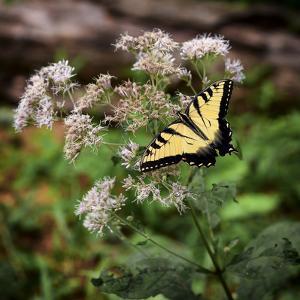 Portrait of an Eastern Tiger Swallowtail Butterfly on a Wildflower by Petteway White