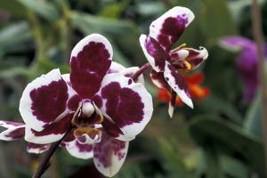"""Phalaenopsis """"Every Spring"""""""