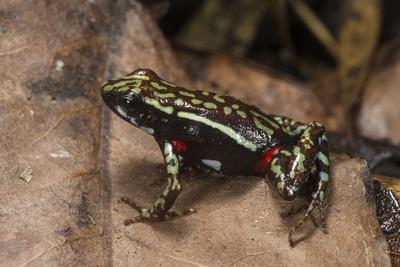https://imgc.allpostersimages.com/img/posters/phantasmal-poison-arrow-frog-ecuador_u-L-Q13AQHU0.jpg?artPerspective=n