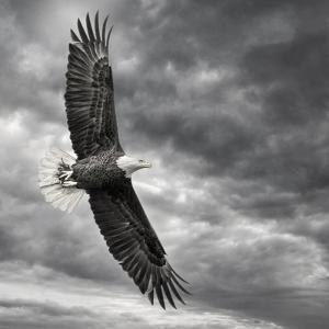 Eagle in Flight by PHBurchett