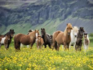 Icelandic Horses VII by PHBurchett
