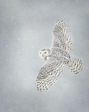 Owl in Flight II by PHBurchett
