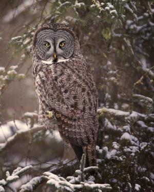 Owl in the Snow I by PHBurchett