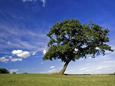 Lone tree at a meadow below a sunny blue sky