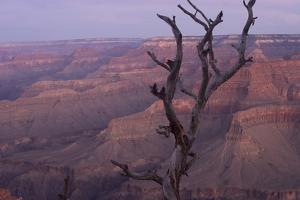 A Dead Tree Looms in Front of a View of the Grand Canyon from Pima Point by Phil Schermeister