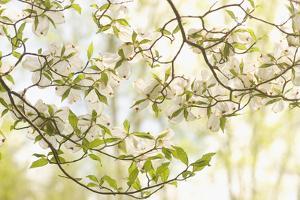 A Flowering Dogwood, Cornus Florida, Cataloochee Area, Great Smoky Mountains National Park by Phil Schermeister