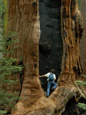 A Man Examines a Giant Fire Scar Left in a Sequoia Tree by Phil Schermeister